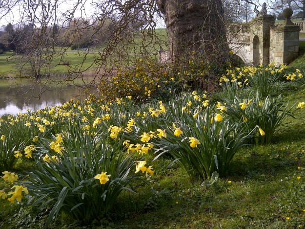 Narcissus+pseudonarcissus_wild+daffodil_Lent+lily_Compton+Verney